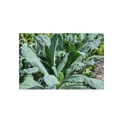 Gaea's Blessing Seeds - Organic Lacinato Kale 500+ Seeds Non-GMO Open Pollinated, 94% Germination Rate, Net Wt. 3.0g : Garden & Outdoor