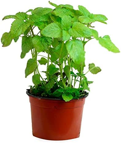Hierbabuena (Maceta 13 cm Ø) - Planta viva - Planta aromatica ...