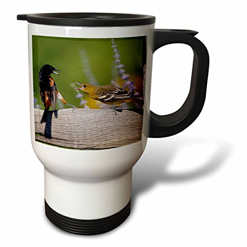 3dRose Danita Delimont - Oriole - Orchard Oriole male and immature Baltimore Oriole fighting, Marion, IL - 14oz Stainless Steel Travel Mug - Old Orchard Il