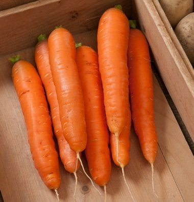 David's Garden Seeds Carrot Bolero D216 (Orange) 500 Hybrid Seeds