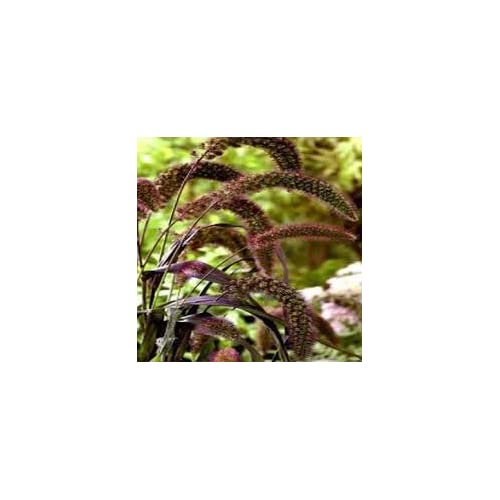 """(GM)~""""RED JEWEL"""" MILLET GRASS~Seeds!~~~~~~~~Burgundy Seed Pods! for cheap"""