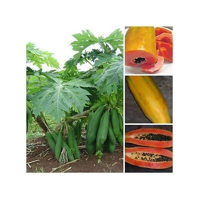 "Vietnamese Dwarf Cylindrical Papaya ""Kaek dahm"" Low Bearing Tree Papaya 50 Seeds: Grocery & Gourmet Food"