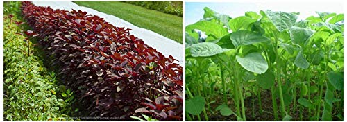 Creative Farmer Hybrid Red Spinach Amaranthus Laal Saag Red Cheera Seeds Seeds ForGardening-5000 Se & Green Amaranthus Seeds (Pack of 5000 Seeds) Combo (B087D4YYJS) Amazon Price History, Amazon Price Tracker