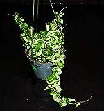 Hoya Carnosa Compacta~Gorgeous Full Rope Hoya~Hanging Baskets Super Healthy