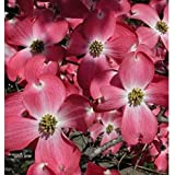 (1 gallon) RED DOGWOOD Tree, gorgeous RED flowers- Red blooms cover the tree in spring