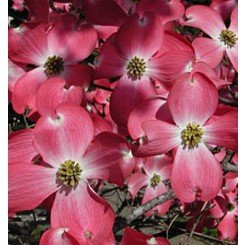 (1 gallon) RED DOGWOOD Tree, gorgeous RED flowers- Red blooms cover the tree in spring by Pixies Gardens