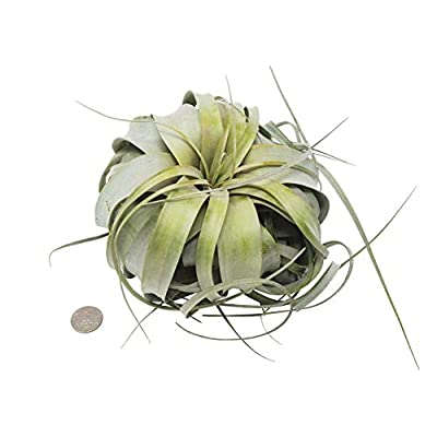 Cheap Fresh Giant Air Plant Xenographica - Huge (4-6 Inches Wide) Get 2pk #HPS01YN : Garden & Outdoor
