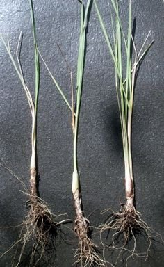 "5 Lemongrass Plants 15""-20"" TALL Non-GMO Organic - Lemongrass Live Plants FIVE (5) LIVE PLANTS Healthy Strong Root MOSQUITOES REPELLENT CYMBOPOGON CITRATUS FREE GROW BAG FROM NATA GARDEN"