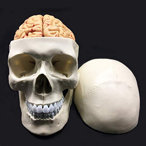 Human Skull with Brain Anatomical Model 8-Part Life-Size Anatomy for Science Classroom Study Display Teaching Medical Model