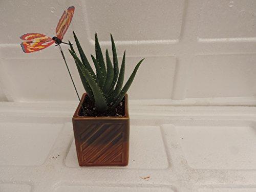 Jmbamboo- Live Aloe Vera - Indoor Bonsai - Butterfly-w/fertilizer Gift Good Plant (Plant Vera Decorative Aloe)