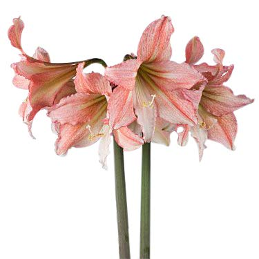 (Special Sale: Tinkerbell Amaryllis Bulb - Peach with White Star)