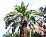 Phoenix Rupicola Cliff Date Palm Seeds!