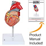 Axis Scientific Human Heart Model, 2-Part Deluxe Life Size Heart Shows 34 Anatomical Internal Structures, Held Together with Magnets on Base - Includes Detailed Product Manual and 3 Year Warranty