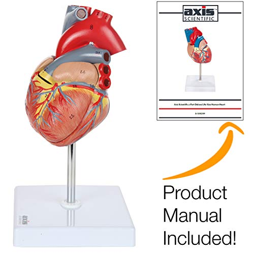 Axis Scientific Human Heart Model | 2-Part Deluxe Life Size Heart Shows 34 Anatomical Internal Structures | Held Together with Magnets on Base | Includes Detailed Product Manual and 3 Year Warranty ()