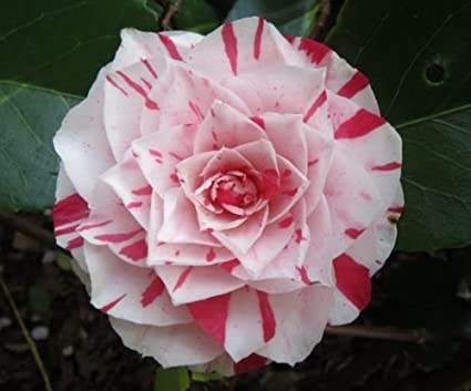 Amazon Com Camellia Japonica Japanese Camellia Tea Flower Rose Of