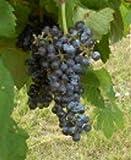 VENUS SEEDLESS BLUE GRAPE VINE- 2 Year Old