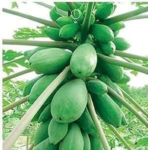SD0610 Green Bicolor Papaya Seeds, New Live Fresh Seeds, Organic Seeds (6 Seeds)