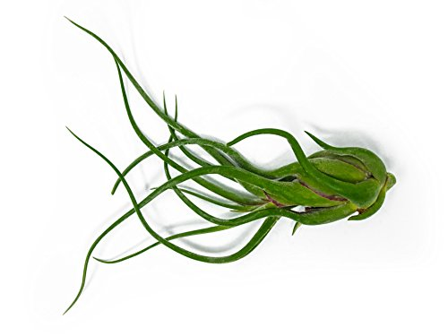 1 Giant Tillandsia Caput Medusae Air Plant - 8 to 10 inch - Live House Plants for Sale - Indoor Terrarium Air Plant