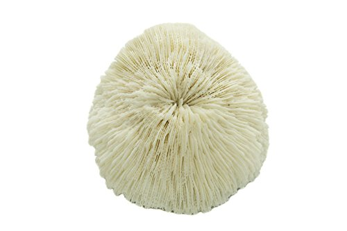 Nautical Crush Trading White Real Mushroom Coral Piece | 3''-4'' | Aquarium Ornament for Decoration | Live Mushroom Sea Coral TM| Plus Free Nautical Ebook by Joseph Rains by Nautical Crush Trading (Image #2)