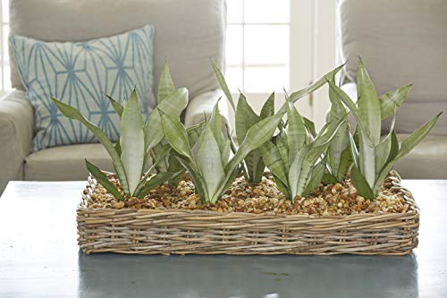 Costa Farms Snake Plant, Mother-in-Law's Tongue, Sansevieria, 4-inch Grow Pot, Easy to Grow, 4-Pack by Costa Farms (Image #4)