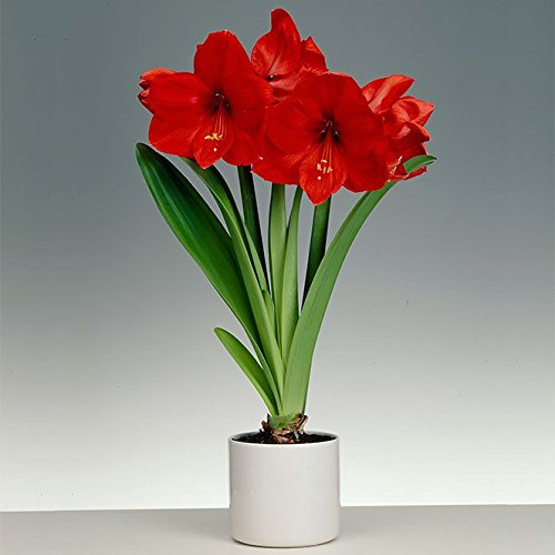 1 Large Flowering Amaryllis, Red Lion ( Bulbs) Indoor or outdoor- 26/28 cm (Lion Red Amaryllis)