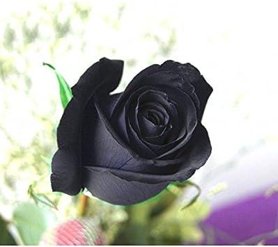 TOPmountain Semillas de Rosas Negras,100 Piezas de Semillas de Plantas de Flores de Rosas para la plantación de huertos caseros,fáciles de Cultivar