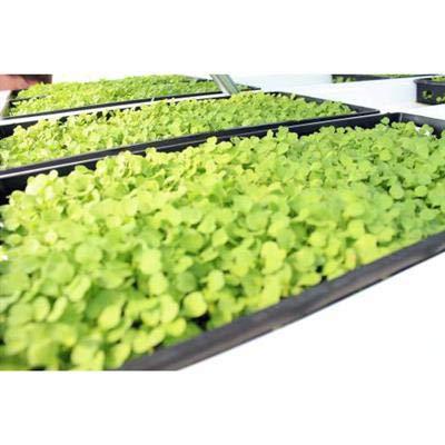 1020 Plant Trays, Heavy Duty, NO Holes 50
