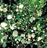 Have one to sell? Sell now Details about Myrtus communis COMPACT COMMON MYRTLE Seeds!