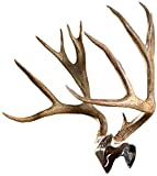 Skull Hooker Bone Bracket European Trophy Mount with Skull Cap Included – Perfect Kit for Hanging and Mounting Capped…