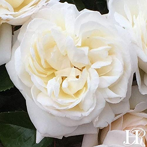 - Own-Root One Gallon White Gold Shrub Rose by Heirloom Roses