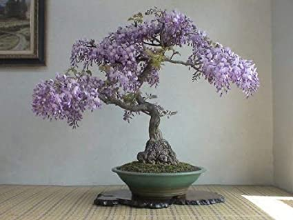 Amazon Com Bonsai Tree Chinese Wisteria Tree Seeds 10 Pack Highly Prized Flowering Bonsai Wisteria Sinensis 10 Seeds To Grow Garden Outdoor