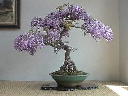 Amazon Com Bonsai Tree Chinese Wisteria Tree Seeds 10 Pack