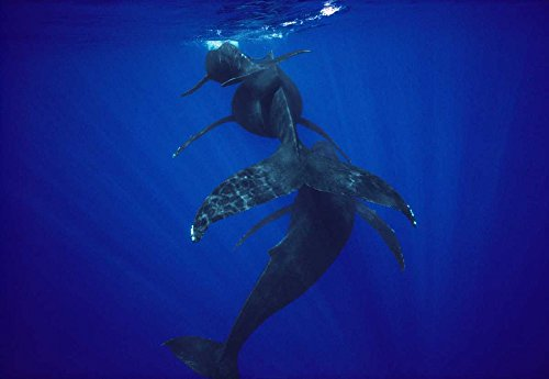 Posterazzi Poster Print Collection Humpback Whale Calf Mother and Male Escort Maui Hawaii Flip Nicklin, (10 x 14), Multicolored
