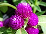 40+ Purple Gnome Gomphrena / Annual Flower Seeds