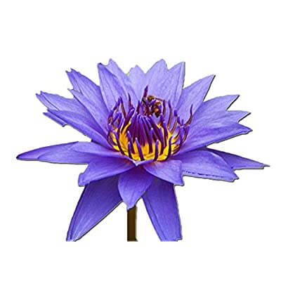 Purple Tropical Water Lily - Water Garden Live Pond Plant : Garden & Outdoor
