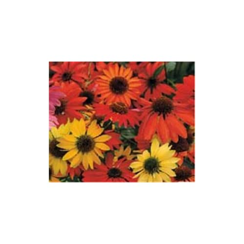Hot (1 Gallon) Echinacea 'Cheyenne Spirit' Multi-colored Coneflower. Narrow Petals, Rolled or Quilled, in Vivid Shades of Orange, Red, Rosy-red, Yellow, Purple and Cream Surrounding a Large Brown Cone