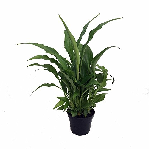 Hirt's Gardens B000WPABE8 Peace Lily Spathyphyllium - Great House Plant - 4'' Pot by Hirt's Gardens