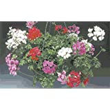 Geranium - Ivy Tornado Mix 100 seeds