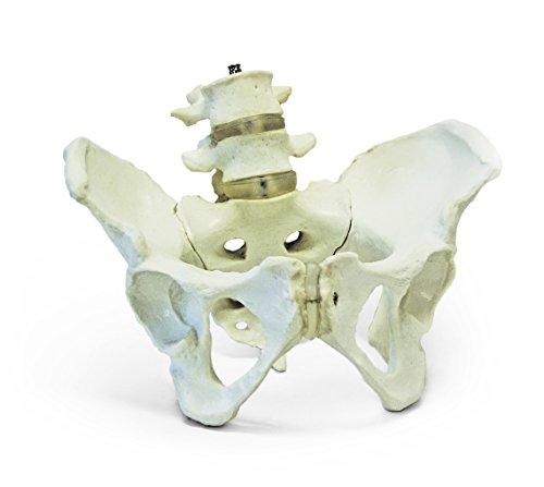 [해외]Walter 제품 B10217 여성 골반 모델, 4, 5 번째 요 추의 수명 크기 / Walter Products B10217 Female Pelvis Model with 4th and 5th Lumbar Vertebrae Life Size