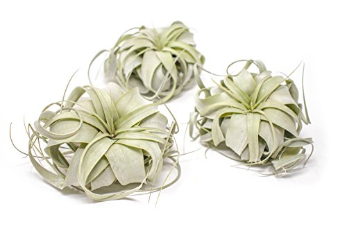 3 Tillandsia Xerographica Air Plants |Live Tropical Houseplant Decor for Terrarium Holder /Wedding Favors | Large Exotic Airplant -Plants for Pets (Blossom Three Light)