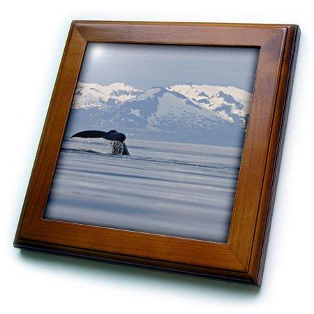 Whale Framed Tile - 3dRose ft_87639_1 USA, Alaska, Humpback Whale in Frederick Sound - US02 PSO0745 - Paul Souders - Framed Tile, 8 by 8-Inch