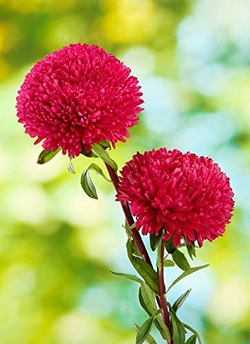 "pink-crimson 360 seeds Peony-flowered aster /""Magdalena/"""