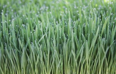 Freshly Cut Organic Wheatgrass (5 pounds) ()