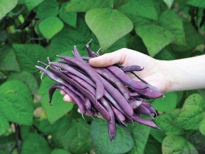 Pole Beans Seed Pack - Purple Podded Pole Bean, Blauhilde, phaseouls vulgaris, 40 seeds per pack, Organic, GMO Free, Heirloom