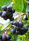 Tropica - Schwarze Apfelbeere Aronia (Aronia melanocarpa) - 50 Samen