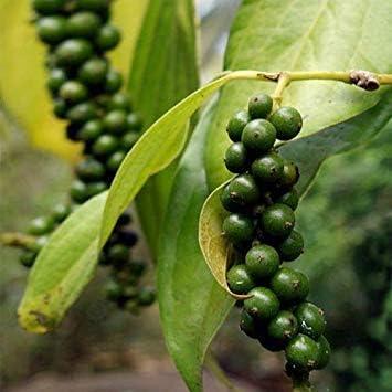 VISA STORE aunque por lo que hace un mayor attractiveing correo, esta semilla, originaria de la India y otros países del sudeste de Asia, es usuly por sus frutos que se secan, y usuly en po