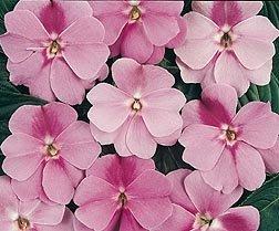 Impatiens New Guinea Divine Lavender 100 seeds
