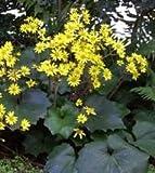 Ligularia x farfugium 'Last Dance' - Ligularia