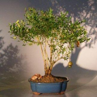 Bonsai Boy's Flowering & Fruiting Dwarf Pomegranate Bonsai Tree - Large punica granatum
