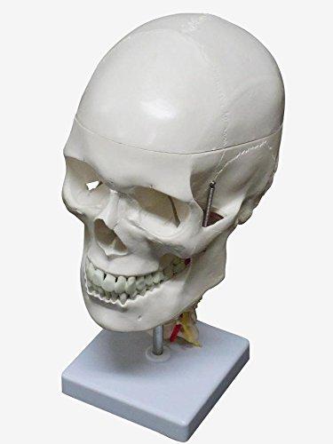 頸椎付き 精密頭蓋骨模型 人体模型   B07F7V928L